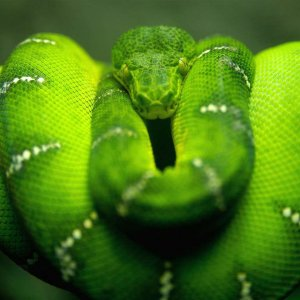 Big green Snake wallpaper