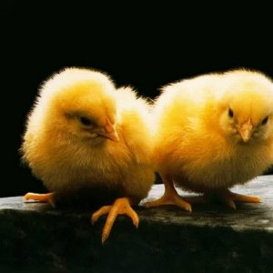 Cute Chicken wallpaper