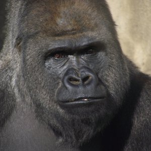 Gorilla Hd Wallpaper