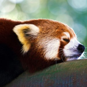 Red Panda wallpaper