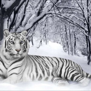White Tiger wallpaper