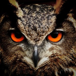 owl looks wallpaper